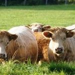 Read more about Types of Beef Cattle for sale, please visit us pictureofcows.com