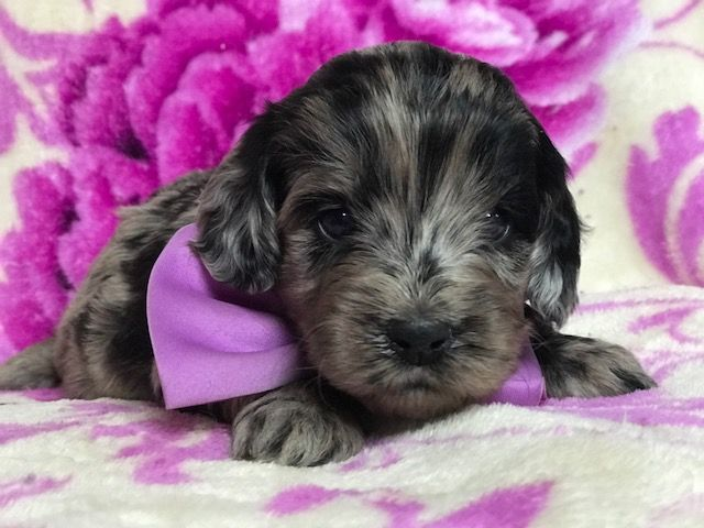 Cocker Spaniel-Poodle Miniature Mix Puppy For Sale In -6040
