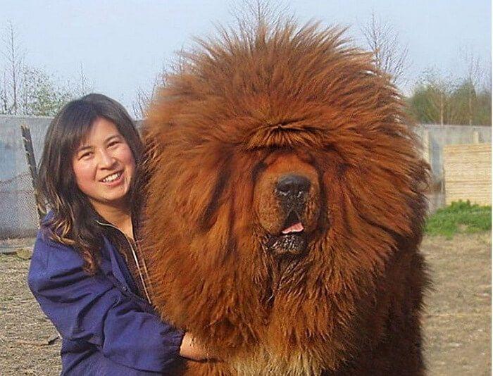 A Red Tibetan Mastiff Sold For $1.5 Million