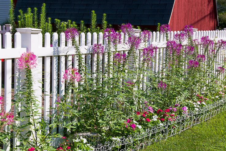 Picket Fence Garden Border | White picket fence garden border with annual flowers, Cleome (Spider ...