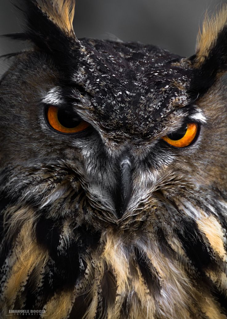 Photo Devil owl by Emanuele Boccia Photography on 500px ...