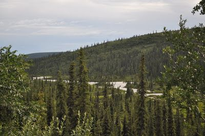 Taiga o bosque de coníferas, que solo se da en zonas articas o boreales.