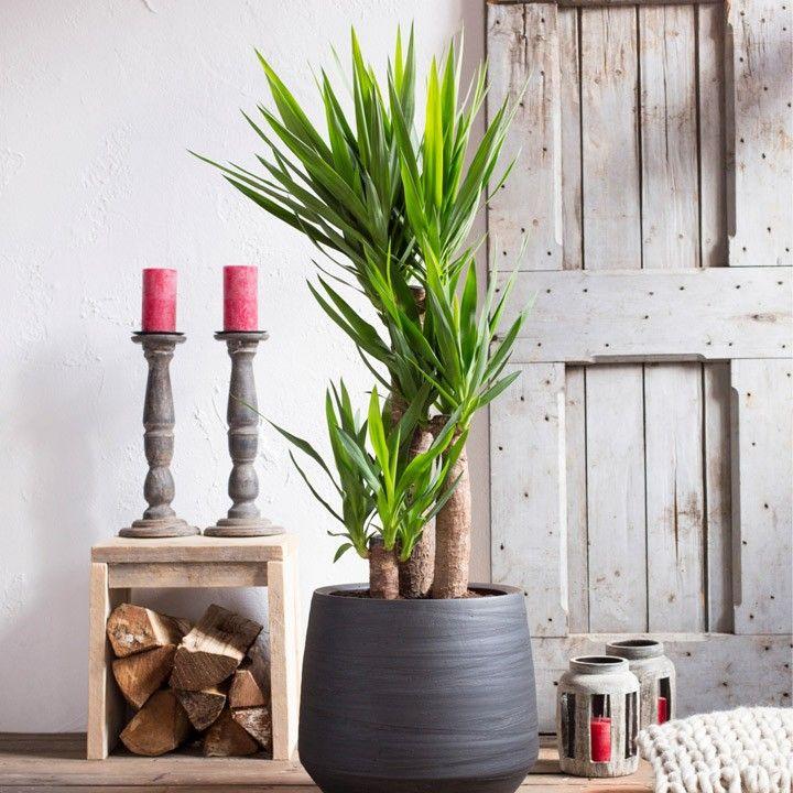 Een grote plant als stralend middelpunt van je woonkamer. #intratuin #voorjaar #kamerplant #yucca
