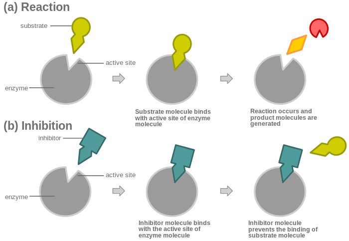 Competitive inhibition - Wikipedia