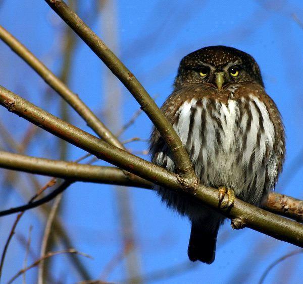 faits de hibou pygme nord chevchette hibou hibou 600 faune erin s owls owl glaucidium