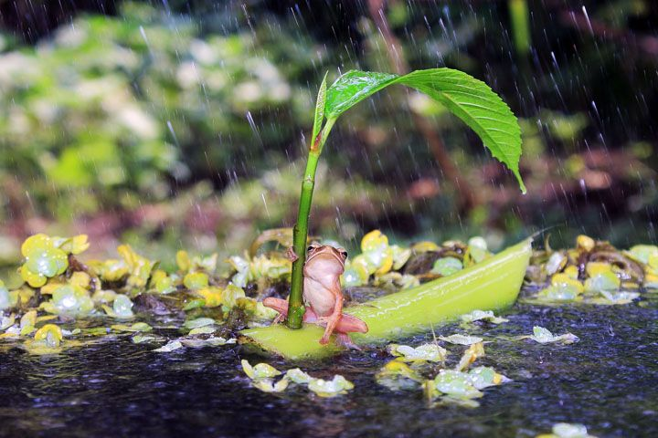 An Indonesian photographer's pictures of a frog who remembered to bring an umbrella have gone viral as viewers marvel at the little fellow's resourcefulness.