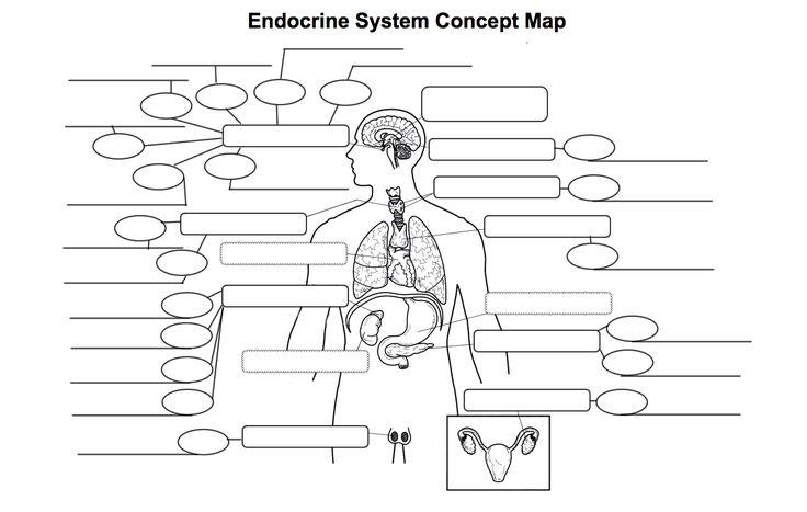 Endocrine System Diagram Worksheet . Endocrine System