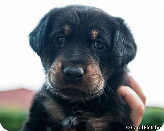Rottweiler puppy adoption uk