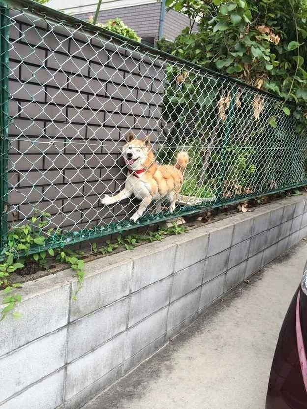 This dog who really wanted to see what was on the other side of the fence: