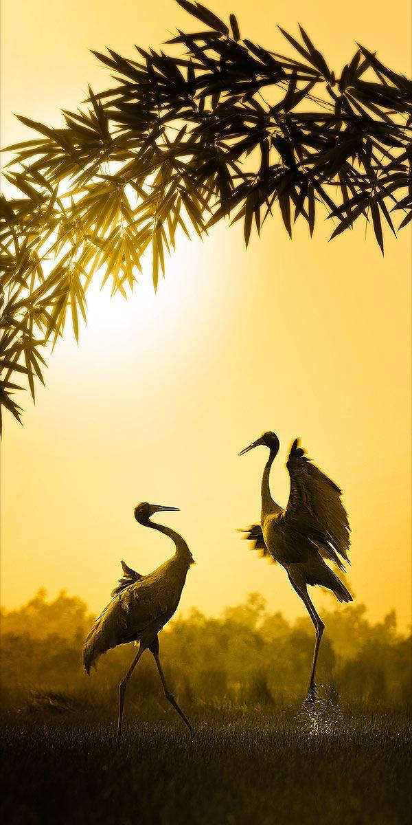 cranes + bamboo = classic beautiful photo ~ ~ ~ so pretty