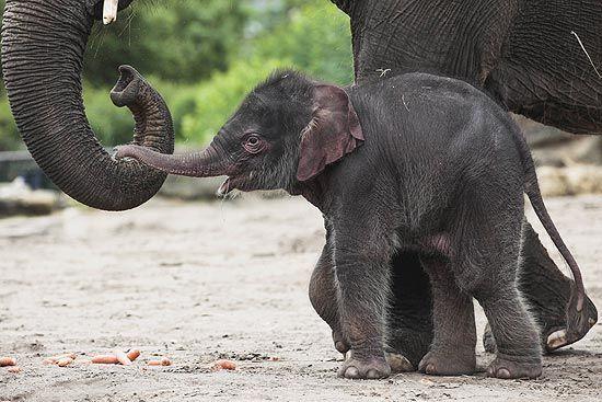 Mamãe elefante conduz filhote com a tromba no zoo de Berlim