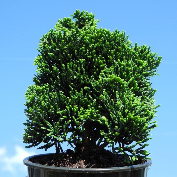 Thoweil Hinoki Cypress - Chamaecyparis obtusa 'Thoweil'