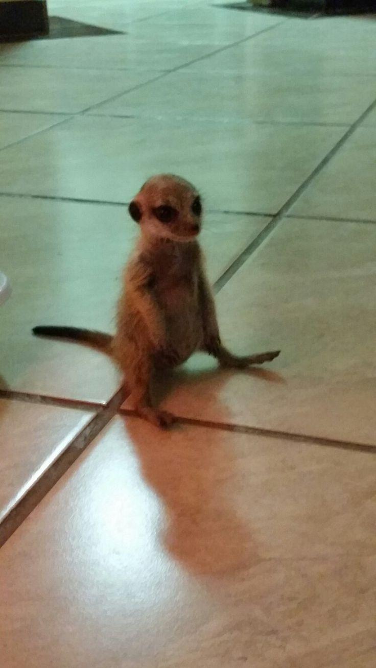 My meerkat