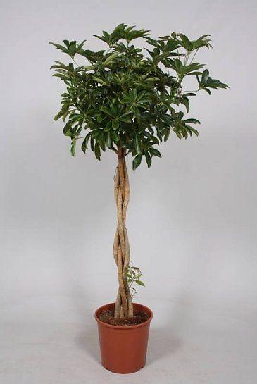 Schefflera Compacta (Vingersboom)
