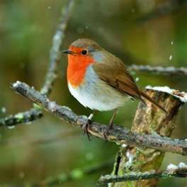 Bill Oddie's Birds - Information about Robins and feeding birds