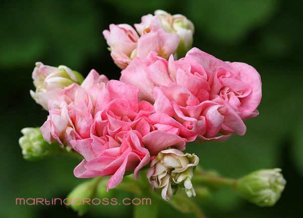Pelargonie - Pelargonium - Pelargoner Wedding Royale