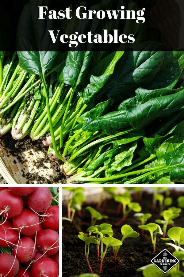 A List Of The Fastest Growing Vegetables You Can Grow In Under 2 Months Growing Vegetables Fast Growing Vegetables Vegetables