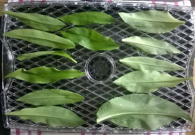 Drying Wild Garlic leaves