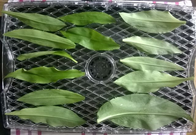 Drying Wild Garlic leaves