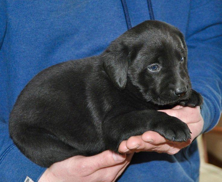 Labrador retriever puppies for sale ashburnham ma