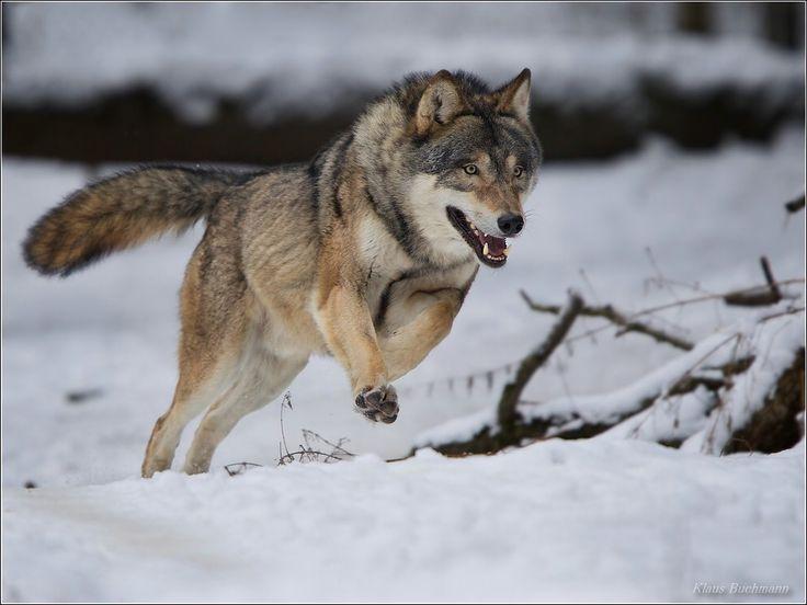 running wolf von k buchmann predators pinterest