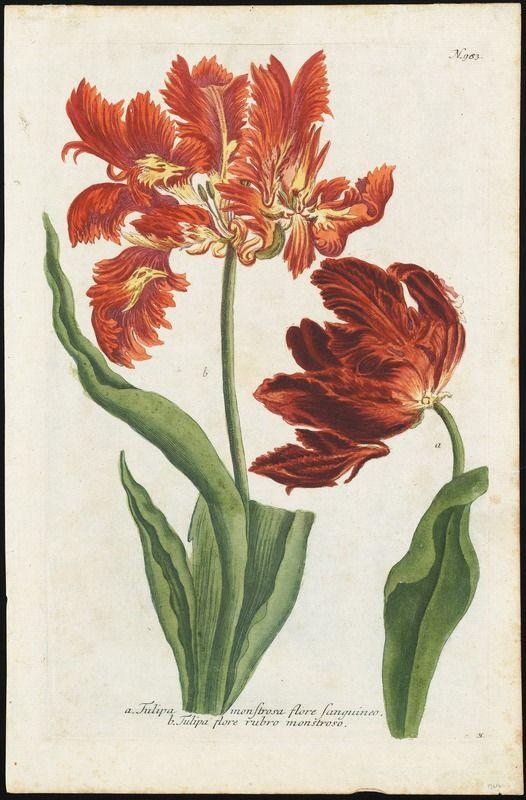Afbeeldingsresultaat voor tulipa monstrosa