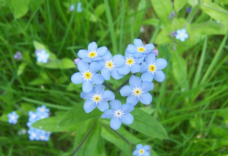 vergiss mein nicht flowers gardens pinterest