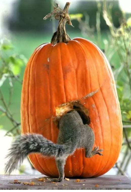 Hey, hey, hey .... wer macht sich da an unserem Kürbis zu schaffen?  Ich glaube, es ist tatsächlich ein Eichhörnchen!