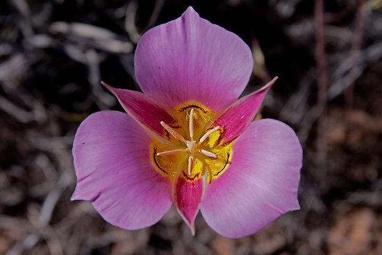 Sego Lily Bryce canyon | Chest tattoo | Mariposa lily ...