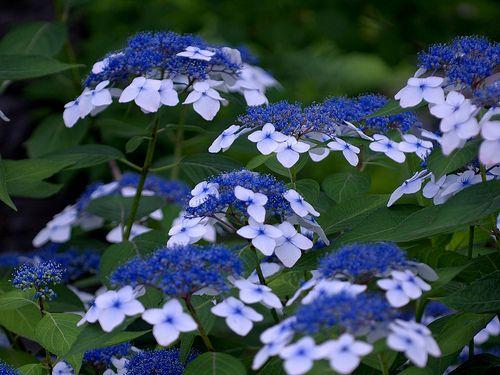 Hydrangea macrophylla fo. normalis | ガクアジサイ Hydrangea macrop… | Flickr