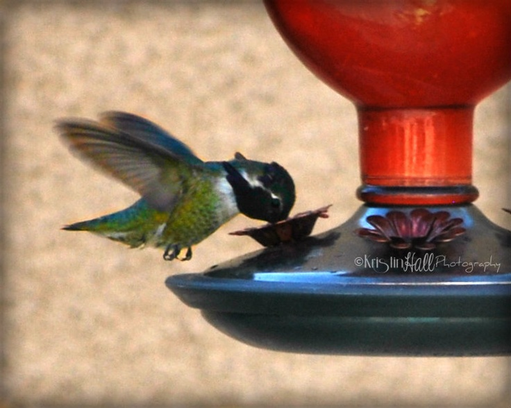 Hummingbird   Original Print by Kristin Hall Photography  All Rights Reserved 2013
