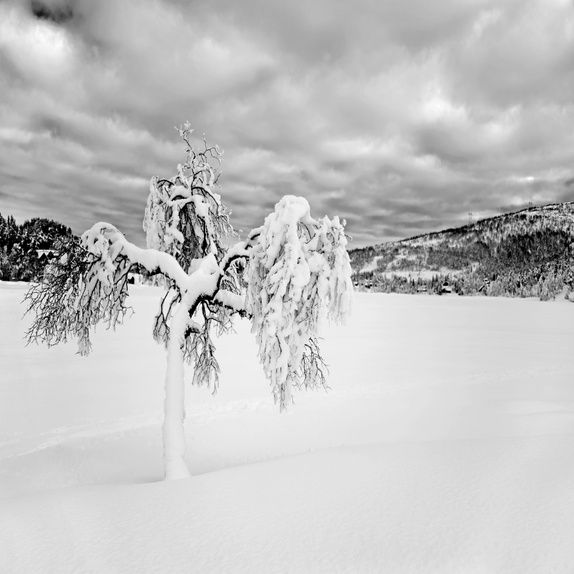 """"""" Ballerina""""  Foto A4 #foto #fotografi #fotokunst #natur #landskap #vinter #snø #hvitt #tre #hvit #svart #svart/hvitt #norsk #nordisk #skandinavisk #epla #thunes"""