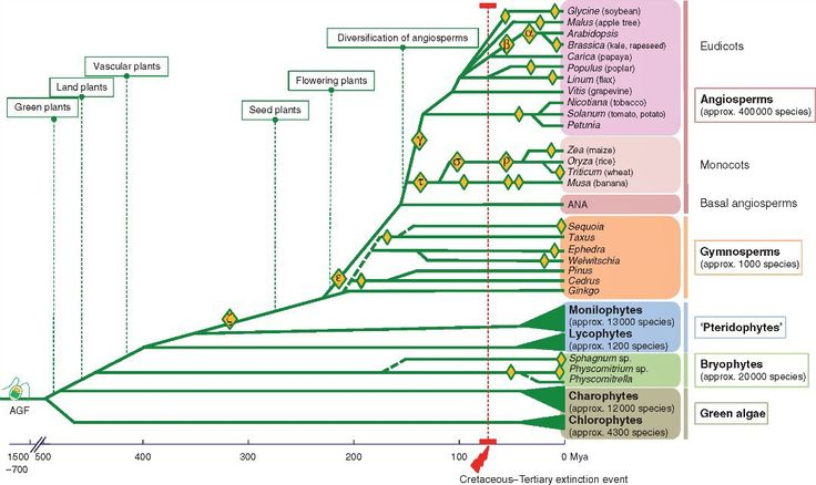 About half of all higher plant species are recognizable as evolutionarily recent polyploids where multiple whole genomes or sets of chromosomes have come together from close ancestors. Additionally over evolutionary time all flowering plants have at least one polyploidy event also known as a whole-genome duplication (WGD) in their ancestry from before the divergence of gymnosperms and angiosperms the ζ (zeta) event (see the legend in the paper for the many references).  Simplified phylogeny…