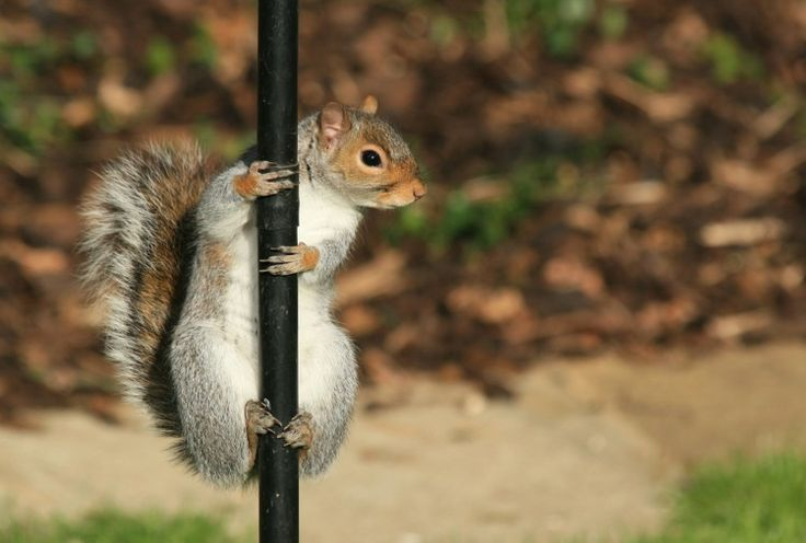 pole dancing Squirrel