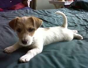 jack russell puppies are the BEST! cant wait to get another one :)