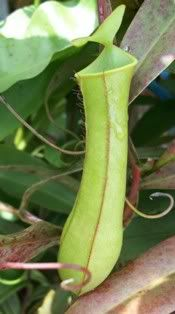 Nepenthes Gracillis Hijau