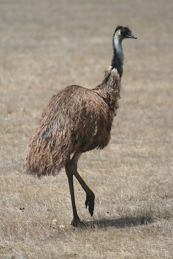 An emu stands erect on one foot