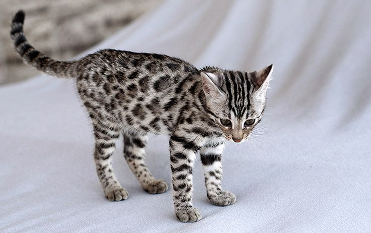 3 Ways to Take Care of a Bengal Cat - wikiHow