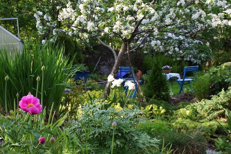 "Paeonia officinalis ""Mollis"" - Pallaksenpioni, tulips and blossoming apple tree in late May"