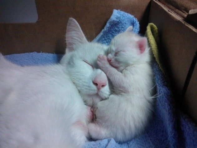 Napping with MamaSnuggles, Animal Pics, Mothers, Animal Kingdom, Baby Kittens, Sweets Dreams, Cat Naps, Families, White Cat
