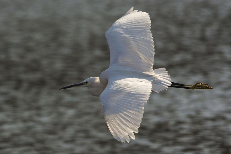 Aigrette garzette - Little Egret - Garceta común - Garzetta comune - Seidenreiher ( Egretta garzetta ) Garzetta in volo by Andrea Mottarella on 500px