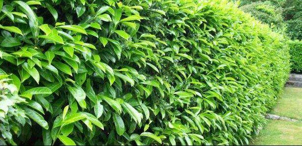 Laurel Hedging Plants for sale online - http://www.hedgesonline.com