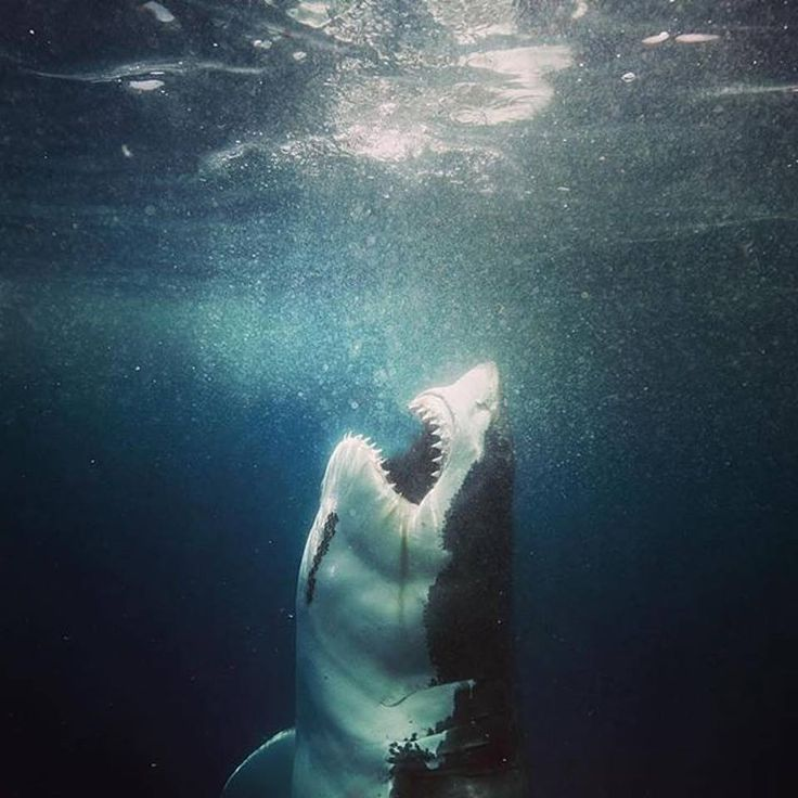 King of the Ocean. This incredible photo was captured by Matt Draper near the Neptune Islands off South Australia. A Great White Shark moments before eating a Fur Seal. — with Matthew Johnston.