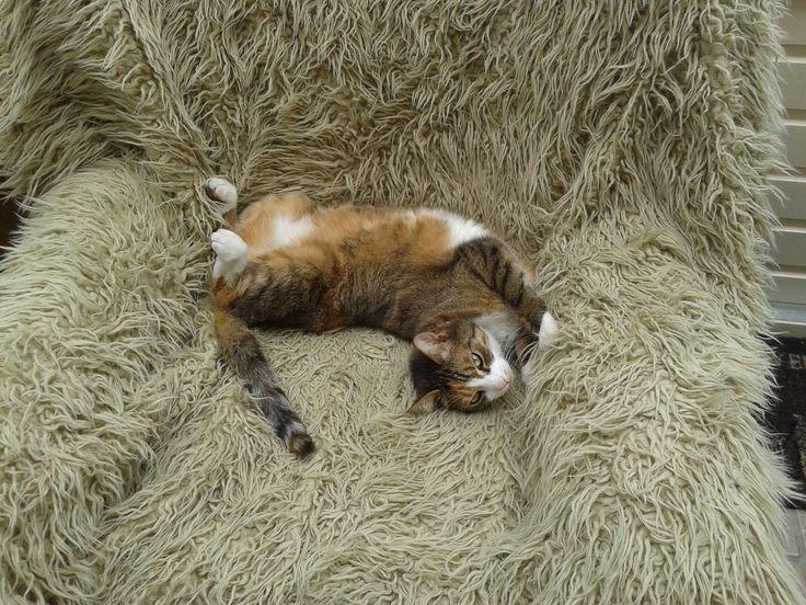 """Vrijdag: """"Hoezo lui?"""" denkt Buffel. """"Ik heb weekend!"""" #kat #cat #lui #petsie"""