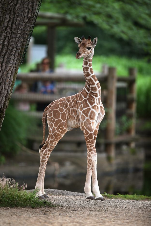 Especially when their necks do this. | Let's Celebrate The Four-Day Weekend With Baby Giraffes