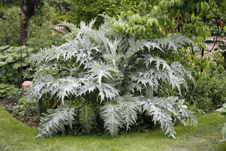 Artischocken zählen nicht nur aufgrund ihres feinen Geschmacks zu den besonderen Gemüsearten. Sie sind auch als Zierpflanzen außergewöhnliche Erscheinungen, die Gartenfreunde zum Staunen bringen.
