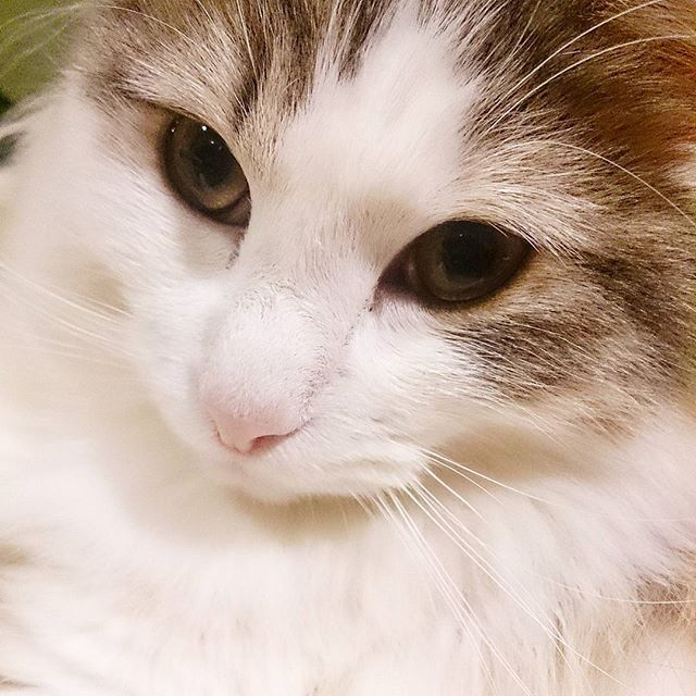 今日もルーナさんはご機嫌さん♪ 雪に負けない白さです(*´∀`*) #norwegianforestcat#ig_cats#catsdaily#catlife#cat_futures#meow_beauties#cats_of_world#cutecatcrew#cutecatclub#lovelycat#bestmeow#ilovemycat#fluffy#土あっぷ祭 #土アップ祭 #ドアップ祭 #髭祭 #猫と暮らす#ふわもこ部 #美猫#美にゃん#大切な家族#愛猫#にゃんとかめら#ぺこねこ部#ピクネコ