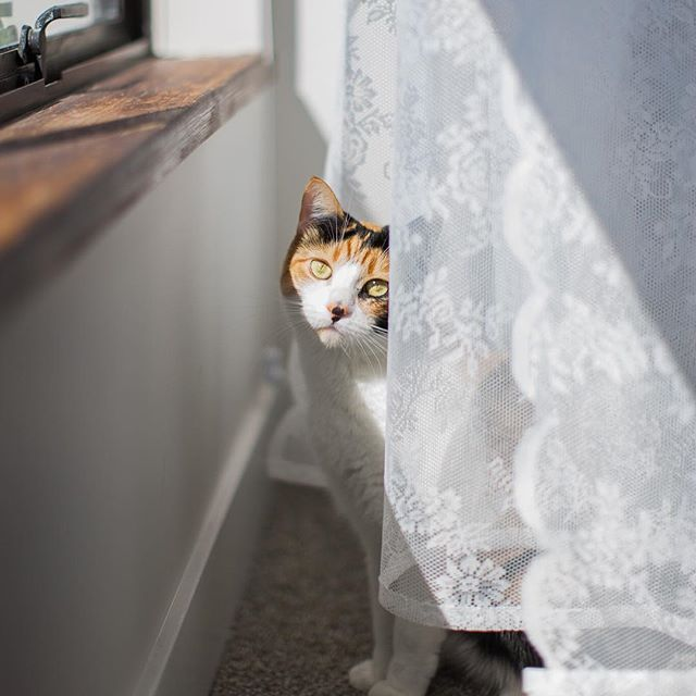 What a beauty  beautiful calico kitten peers out from behind a curtain