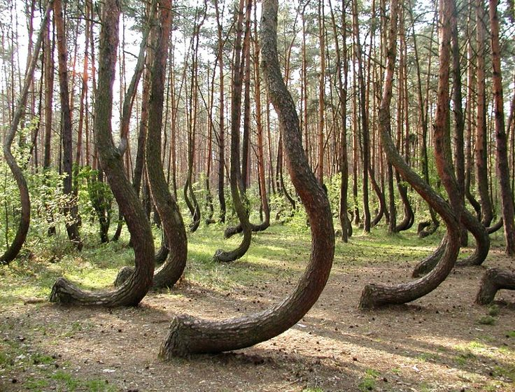 Mysterious Crooked Forest by dailymail: Surrounded by a larger forest of straight growing trees near Gryfino, north-west Poland, the 'Crooked Forest' - is a mystery.  The curved pines, of which there are about 400, were planted around 1930 and  were allowed to grow for 7-10 years before being held down in what is thought to have been some kind of human mechanical intervention. The outbreak of the WWII interrupted the plans of whoever was tending the grove. Hence the mystery. #Crooked_Forest