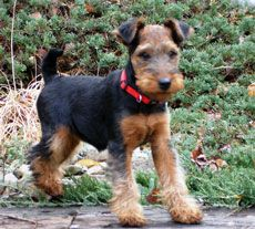 Welsh Terrier Puppy...o m g    Adorable